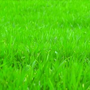 Perennial Rye Grass Fescue Mix